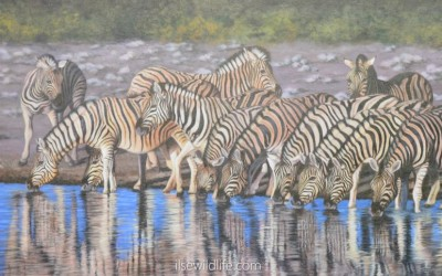 Zebra herd drinking
