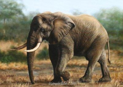 Solitary Tusker