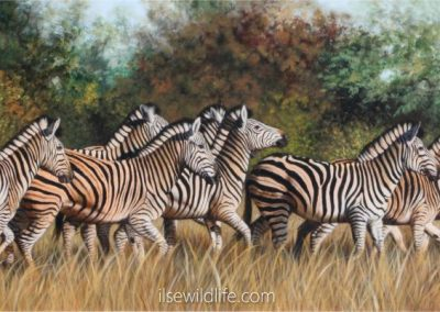 Zebras on the run