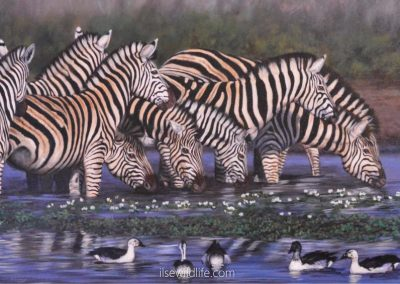 Zebras, water lilies & ducks-perfect harmony