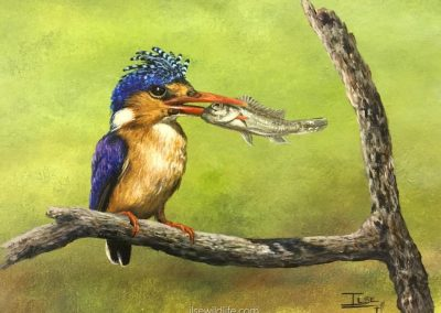 Catch of the day-Malachite Kingfisher